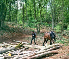 Horse working in Felbrigg Great Wood North Norfolk
